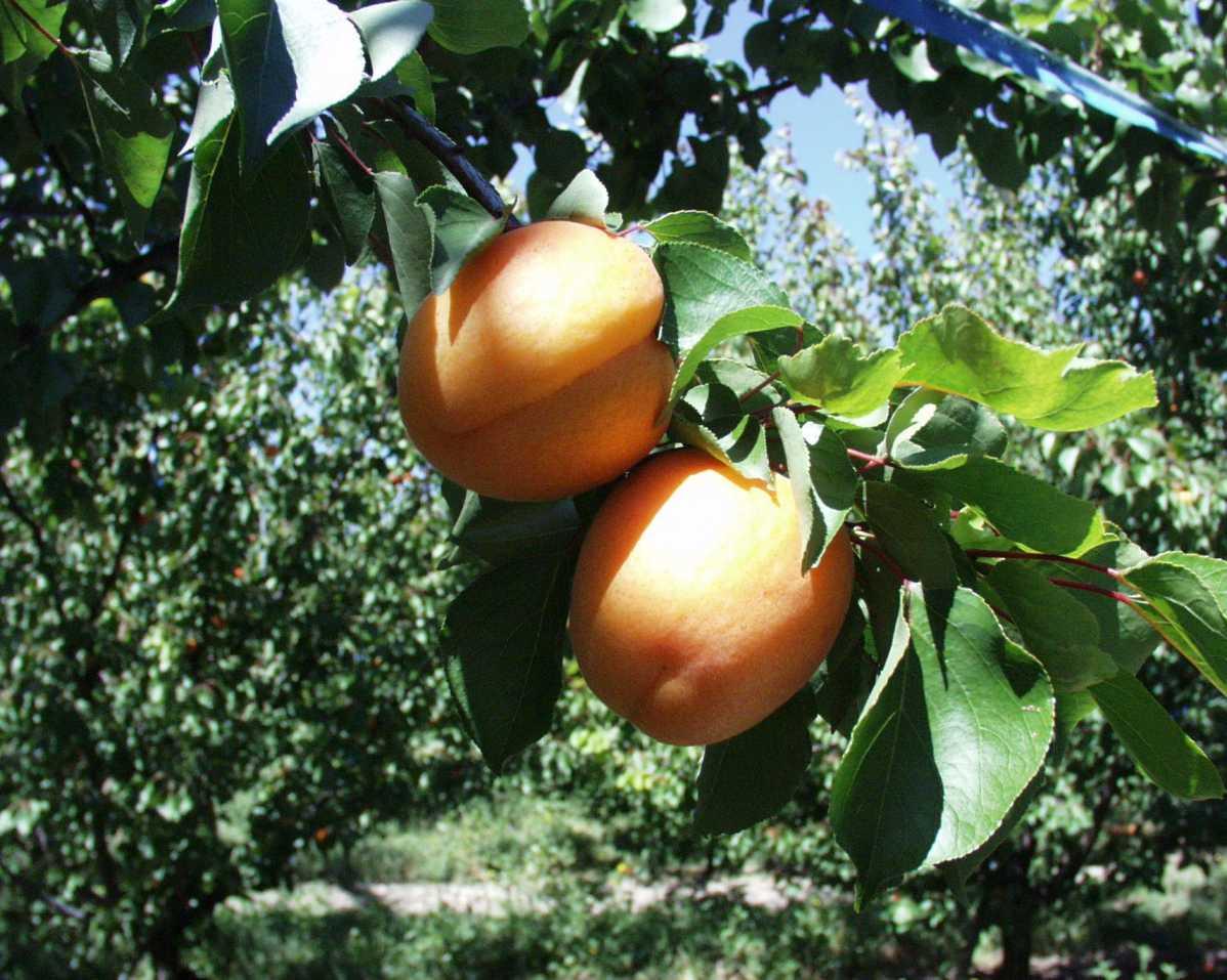 http://www.guillaud-traiteur.com/wp-content/uploads/2012/07/fruitierdauphinois1.jpg